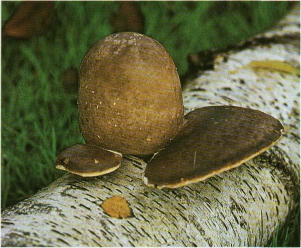 гриб трутовик березовый рецепты приготовления
